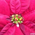 Blüte und Hochblatt beim Weihnachtsstern